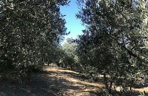 Tekirdağda Satilik Zeytinlik / Olive Grove for Sale